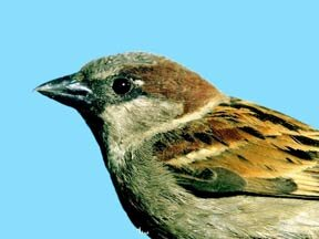 sparrow control, bird control devices, and sparrow traps