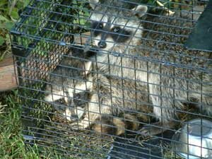 Value Series Raccoon Trap coming up 2 for 1