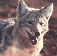 Coyote traps and humane coyote control